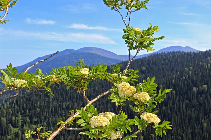 Зацвела рябина в горах