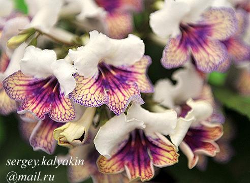 Streptocarpus Harlequin Damsel.JPG