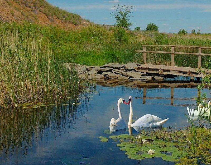 Пара лебедей в чистых водах (18.10.2013)
