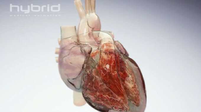 Посмотрите, как работает сердце (флеш видео)