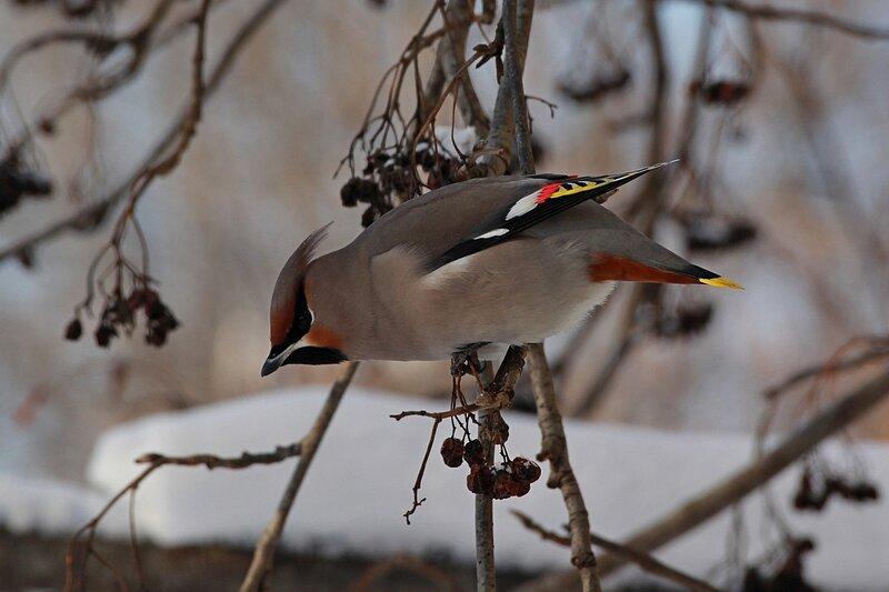 Свиристель на ветке: хохолок, белые, красные и желтые полосы на крыльях и хвосте