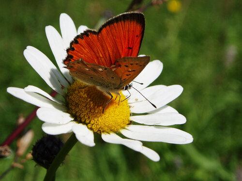 (Lycaenidae: Lycaeninae) Автор фото: Владимир Брюхов