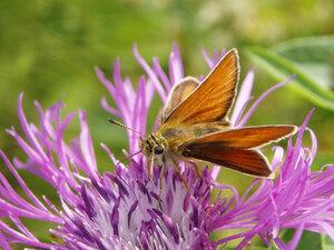 s:бабочки,c:красные или оранжево-жёлтые,c:охристо-рыжие,c:оранжевые