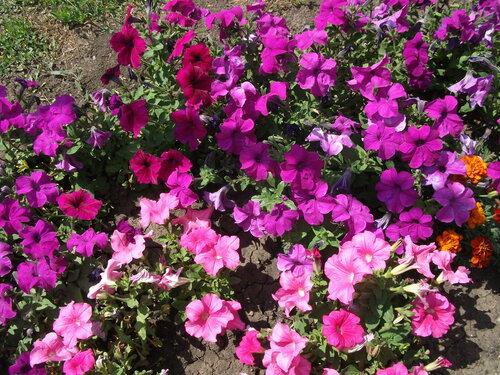 Цветет петунья