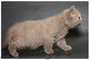 лиловая серепаховая кошка британская короткошерстная