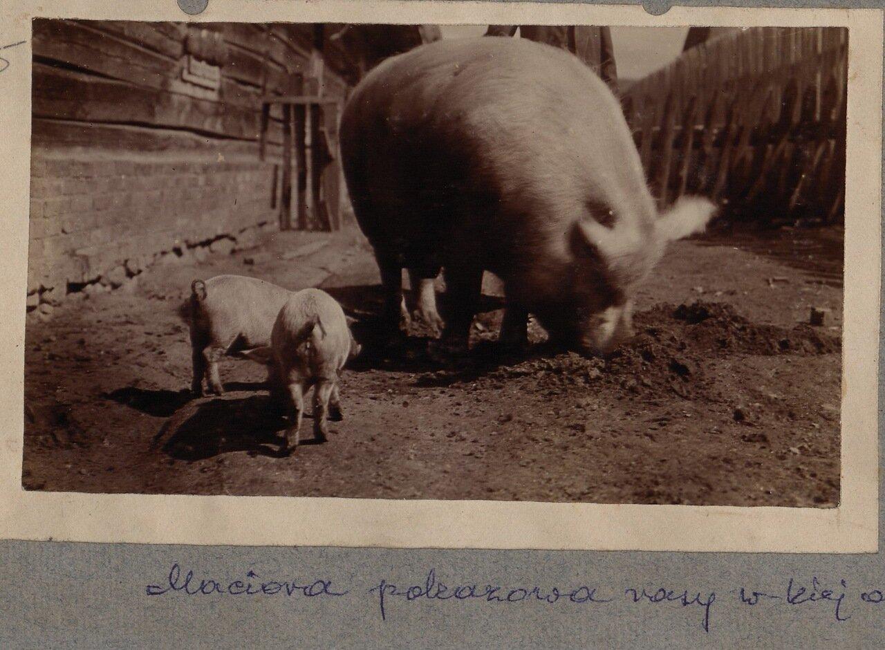 На свиноферме