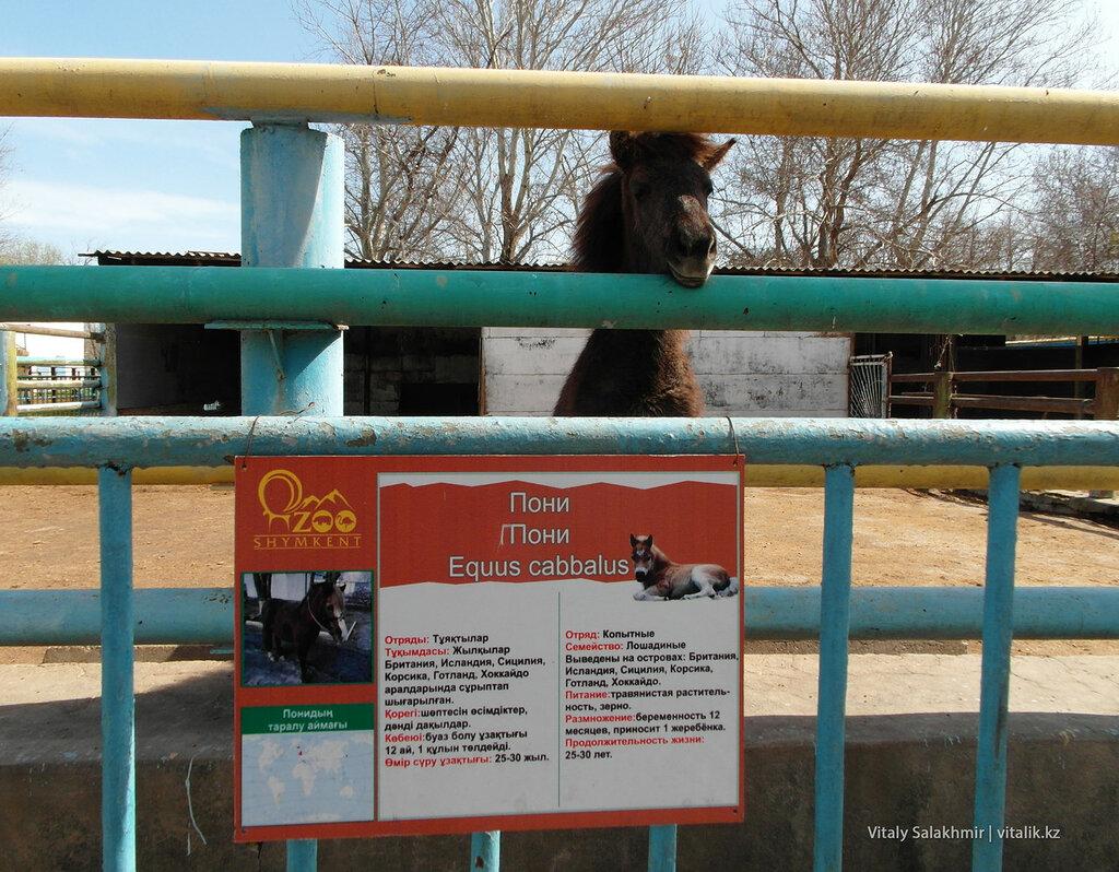 Пони в зоопарке Шымкента