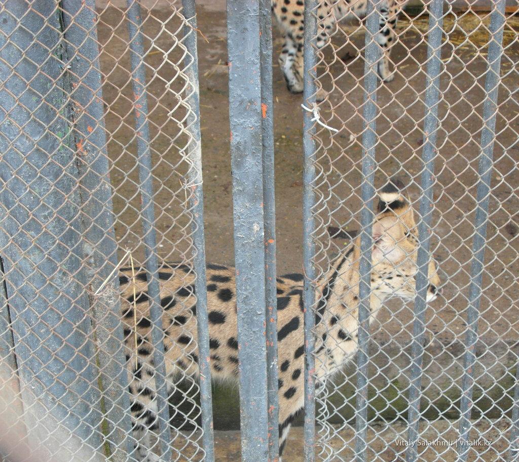 Сервал в зоопарке Шымкента