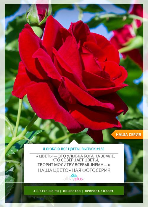Я люблю все цветы, выпуск 182 | Роза - «Королева цветов».
