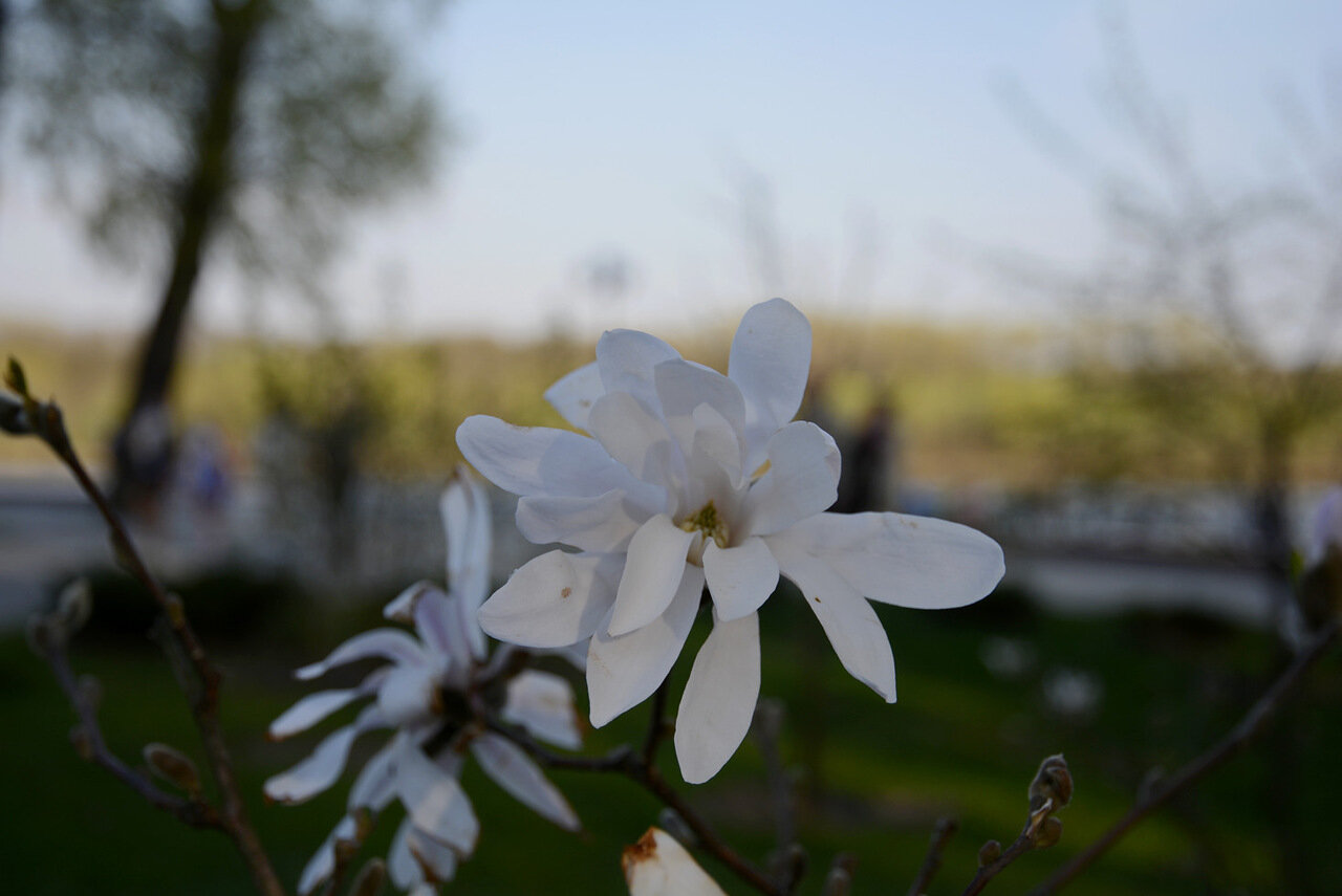 Цветет магнолия в гомельском парке