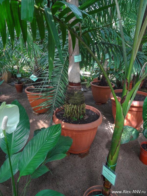 Если вы вдруг решите выращивать пальму у себя дома, то знайте, что эти корешки необходимо оставить на свежем воздухе хотя бы на пару сантиметров. Иначе дерево задохнётся и зачахнет.