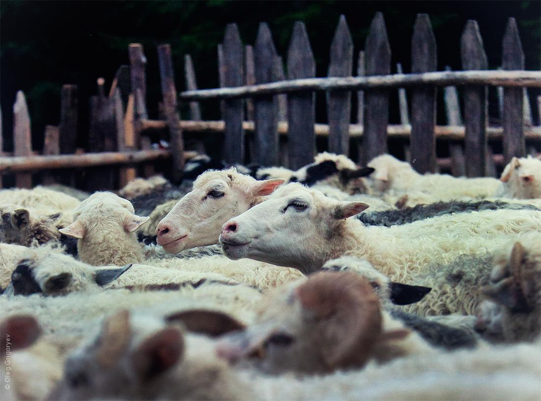 овцы в загоне