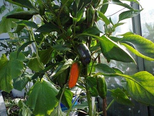 samtfleckenkrankheit resistente tomatensorten