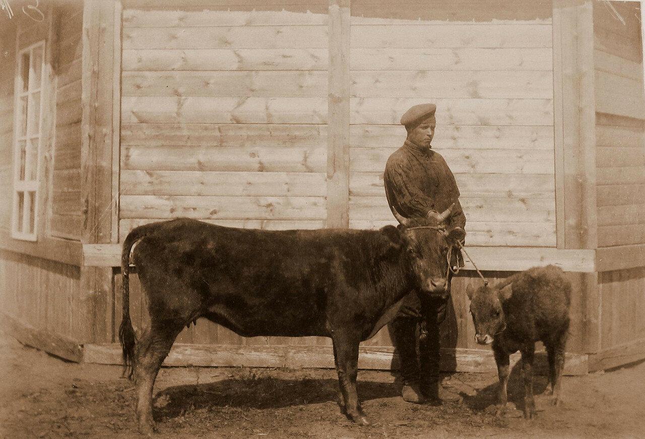 45. Корова обыкновенная бурятская, с теленком