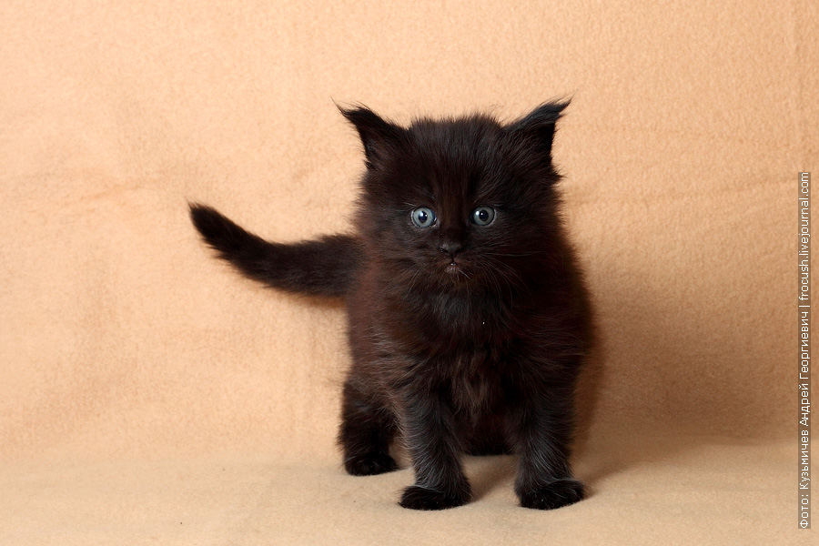 месячный котенок мейн кун
