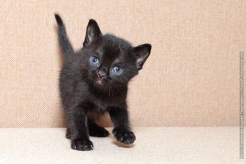 фото бомбейские котята