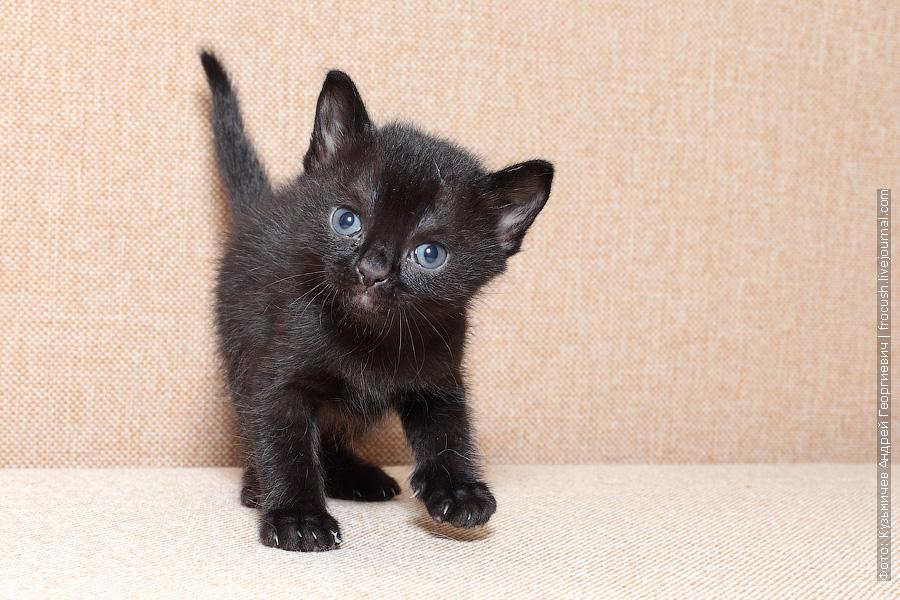 продажа Бомбейский котенок питомник Москва