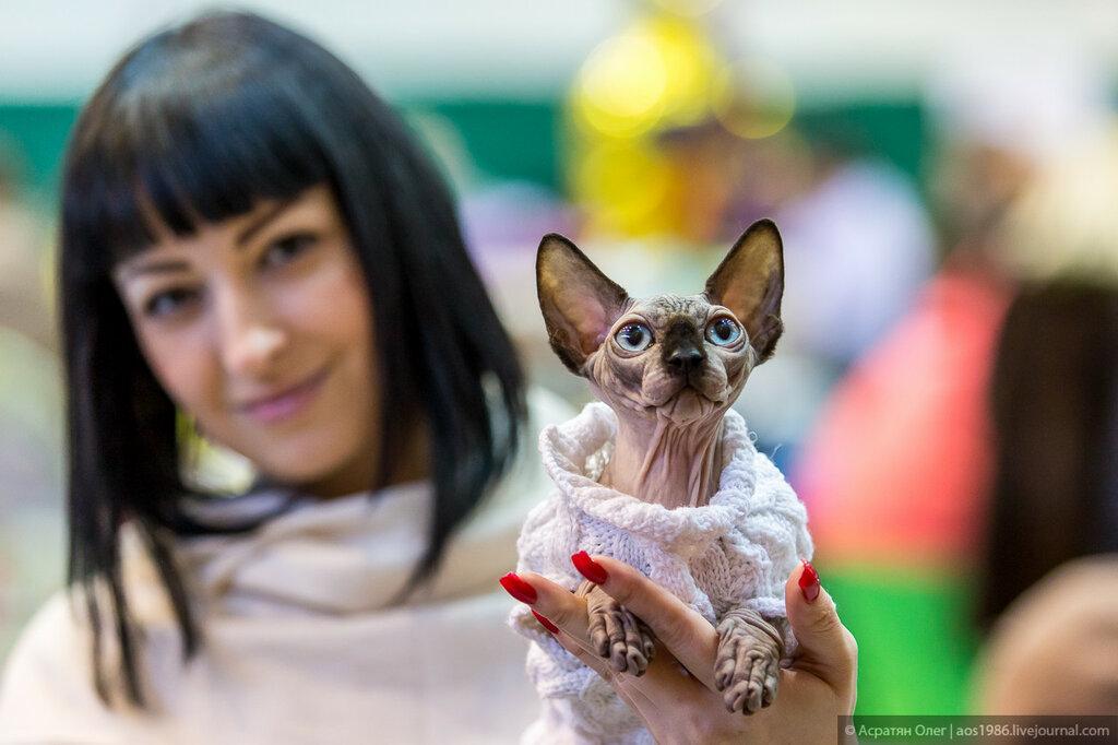 Кошачьи бега и конкурс красоты: в Томске проходит 15-я выставка «Магия кошек»