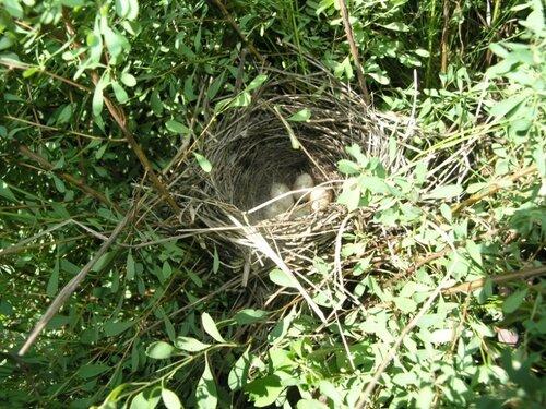 Гнездо соловья в кусте таволги