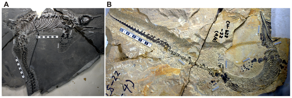 Completeness of the two skeletons used in maternal body size estimation.(A), AGM CHS-5, a nearly complete skeleton that is almost as large as AGM I-1. (B), AGM CH-628-22, a complete skeleton that preserves the tail tip. Large scale bars are 10 cm, and sho