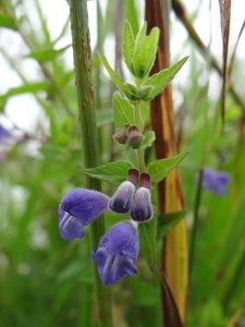 Шлемник обыкновенный (Scutellaria galericulata)