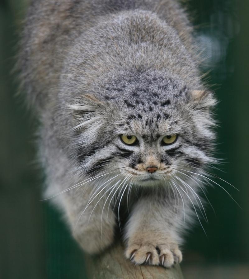 Дикие кошки: Манул