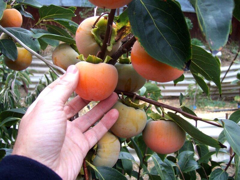 Хурма никитская бордовая выращивание 29