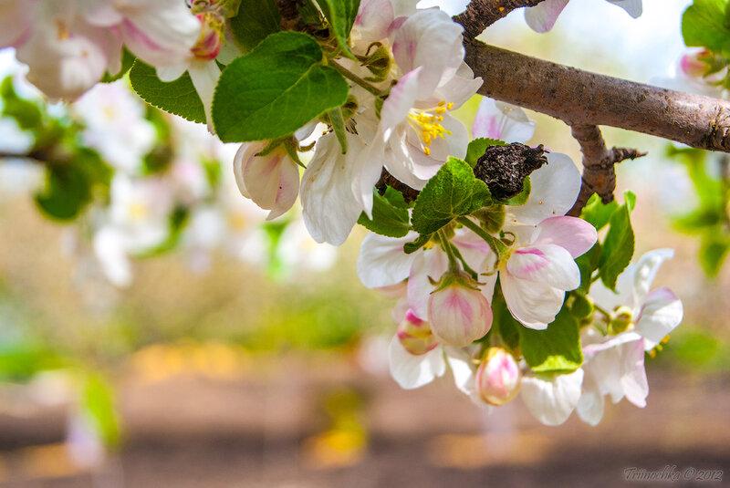 Так душу будоражит первый цвет... Весна