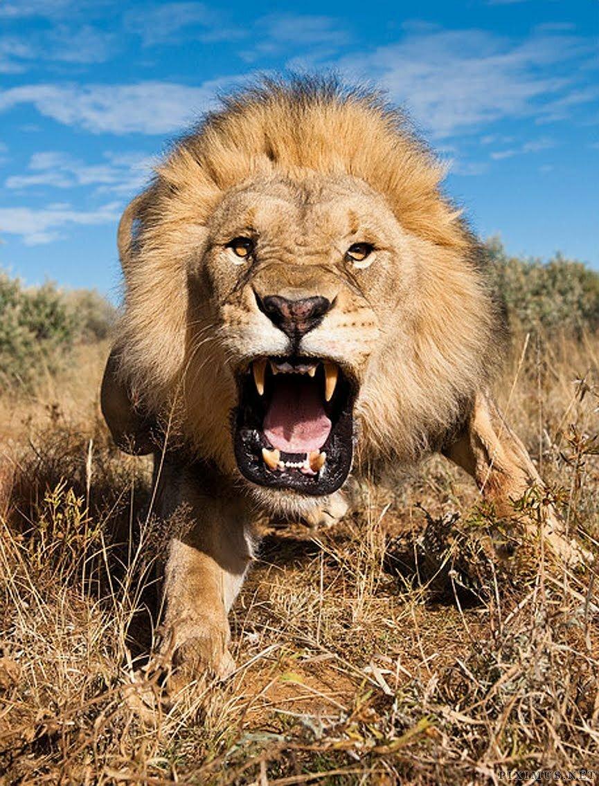 прикольные картинки львов на аву уже задумываются новогодних