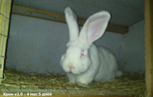 Бельгийский Великан(Обр,Ризен,Фландр) Кролики гиганты.часть 2 - Страница 37 0_cc5fa_624ebcfc_L