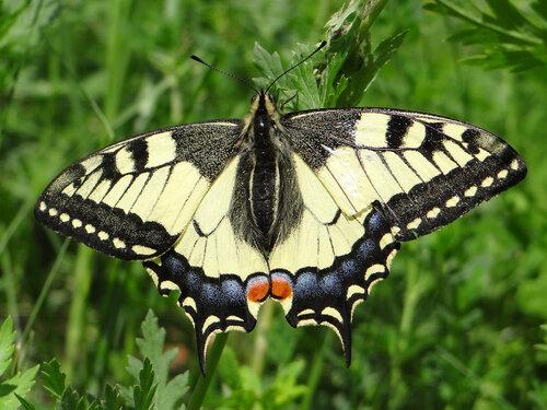 Махаон (Papilio machaon) Автор: Привалова Марина