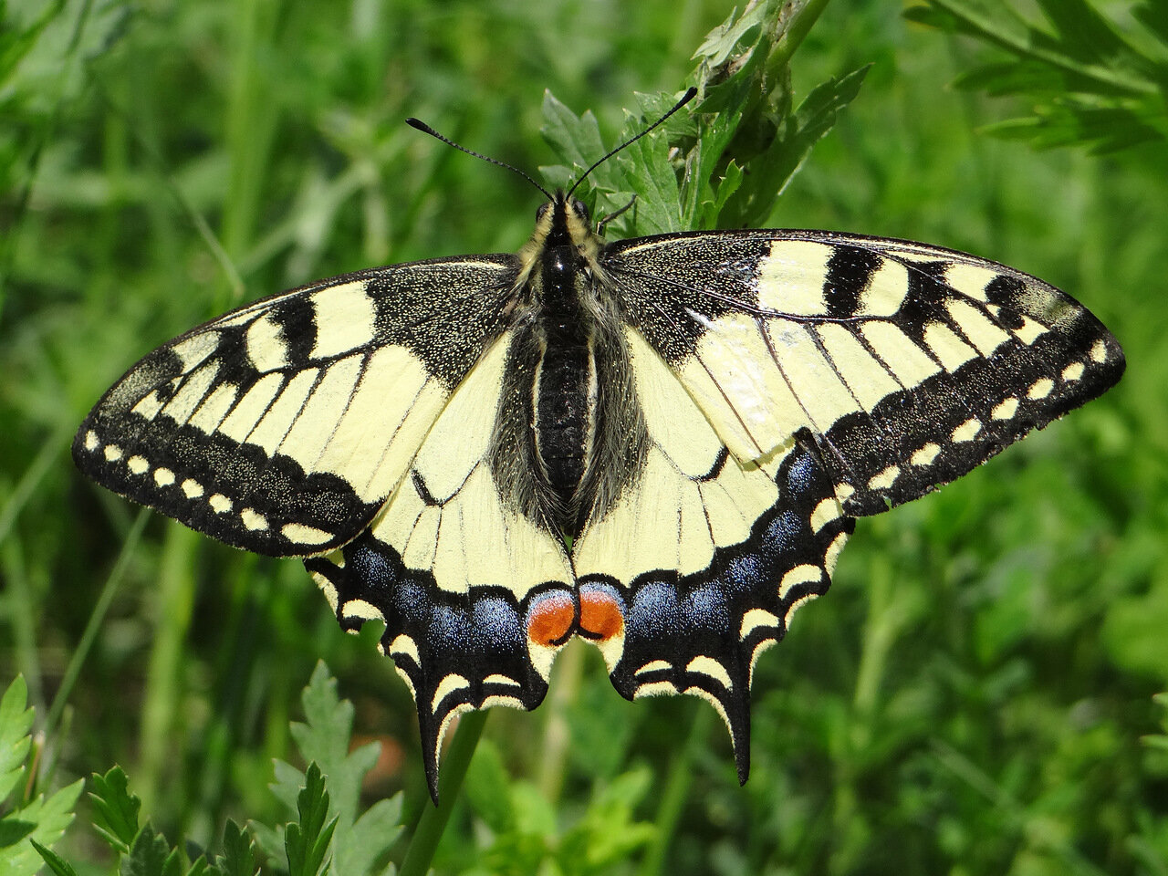 Махаон (Papilio machaon) Автор фото: Привалова Марина