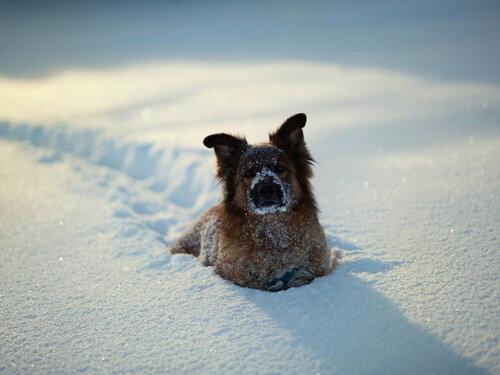 собака в снегу фото