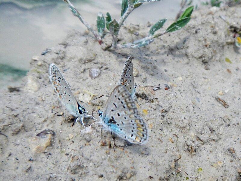 Бабочки-голубянки рядом с лужей