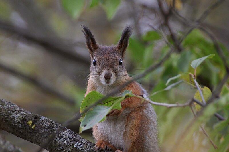 Белочка за листиком на дереве IMG_9481