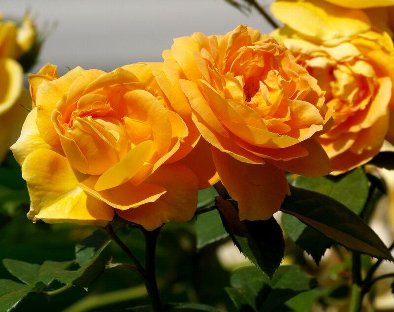 Роза Чайна Гёл