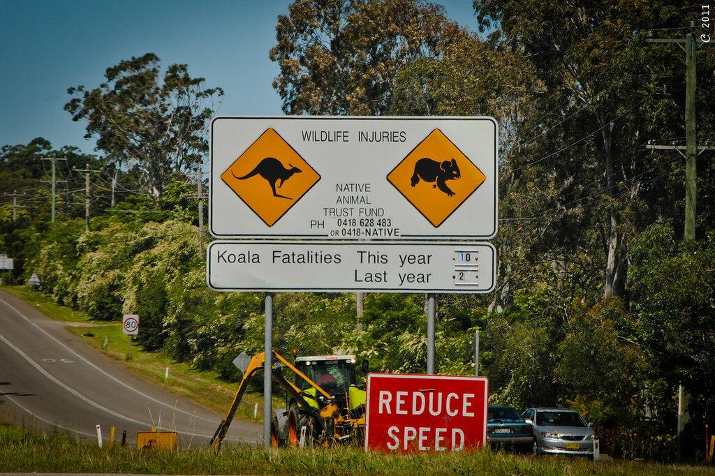 koala fatalities