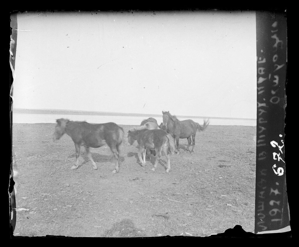 1927. Лошади в Тураханском крае