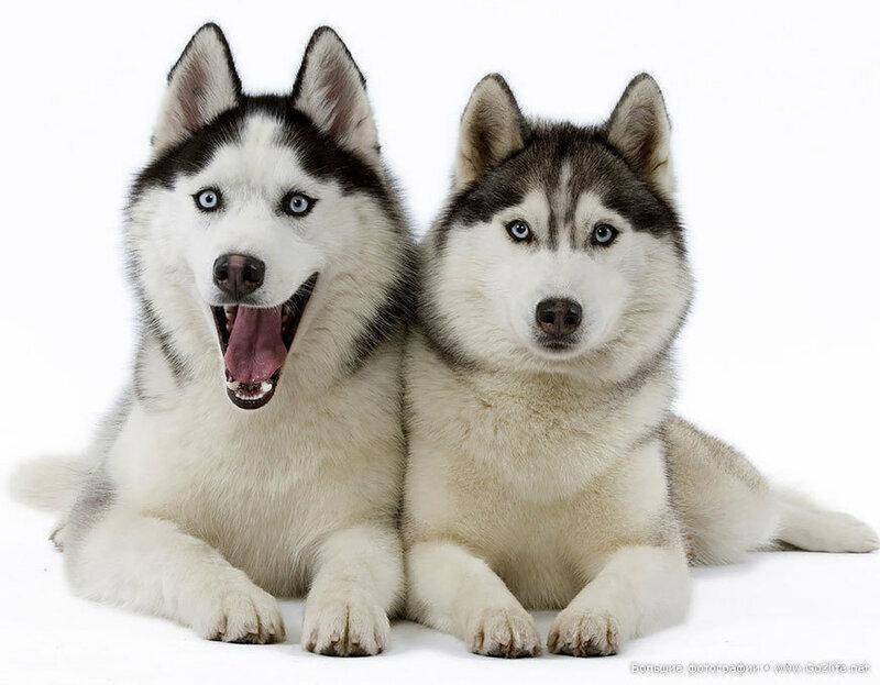 И снова о сибирском Хаски - самой красивой собаке на планете!