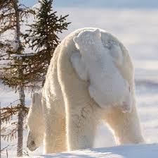 Международный день полярного медведя. Прокатиться на маме