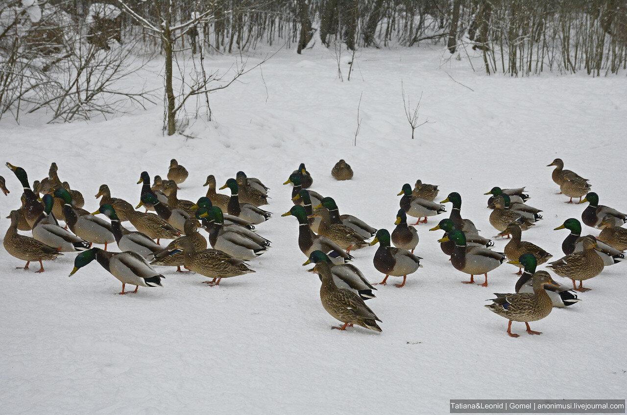 Утки в Новобелице