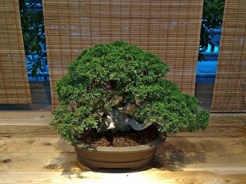 Можжевельник китайский (juniperus chinensis), возраст около 70 лет - Выставка бонсай в Аптекарском огороде