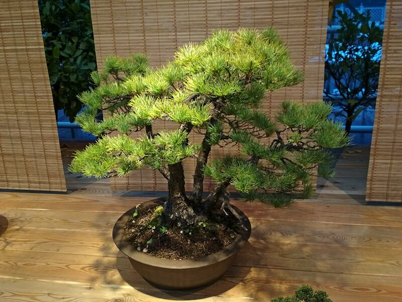 Сосна мелкоцветковая, белая японская сосна (Pinus parviflora) ? - Выставка бонсай в Аптекарском огороде