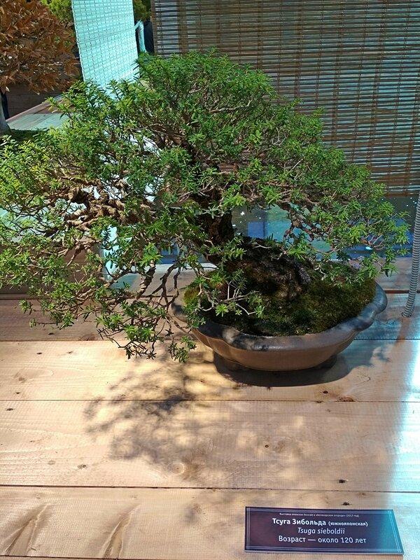 Тсуга Зибольда южнояпонская (Tsuga sieboldii), возраст около 120 лет - Выставка бонсай в Аптекарском огороде