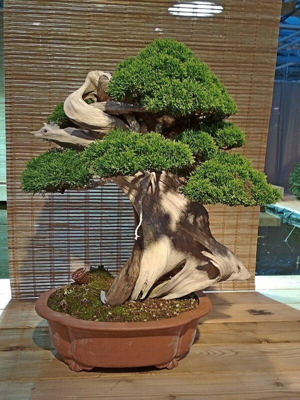 Можжевельник китайский (Juniperus chinensis), возраст около 150 лет - Выставка бонсай в Аптекарском огороде