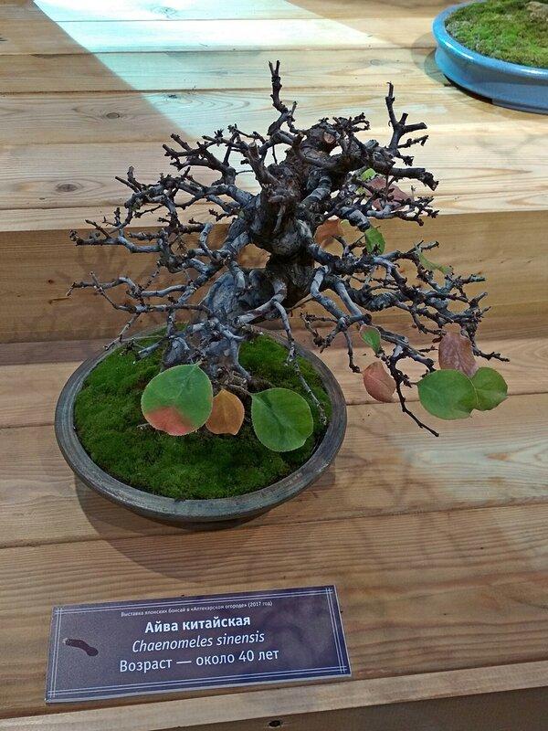 Айва китайская (Chaenomeles sinensis), возраст около 40 лет - Выставка бонсай в Аптекарском огороде