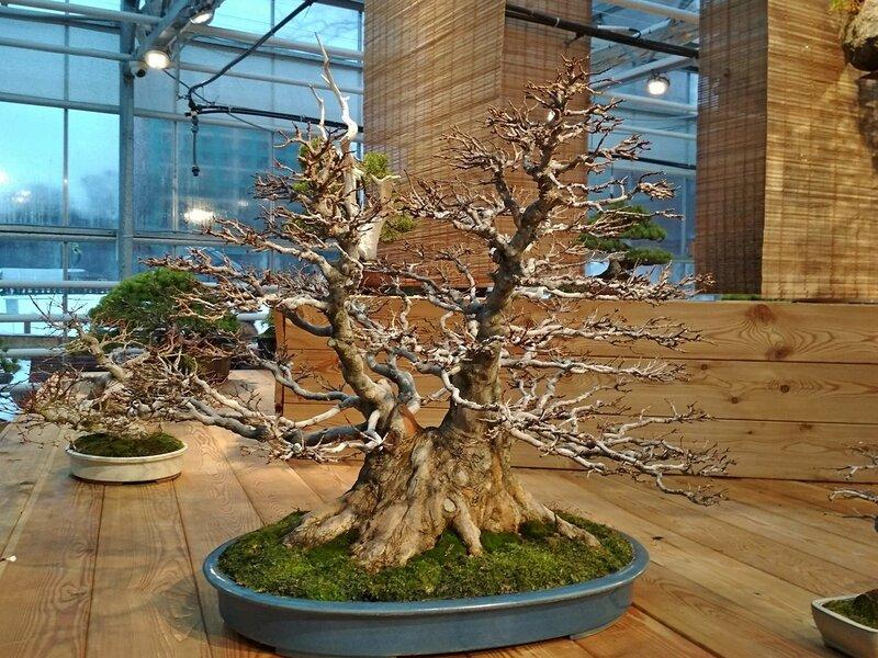 Клён трёхраздельный (Acer buergerianum), возраст около 75 лет - Выставка бонсай в Аптекарском огороде