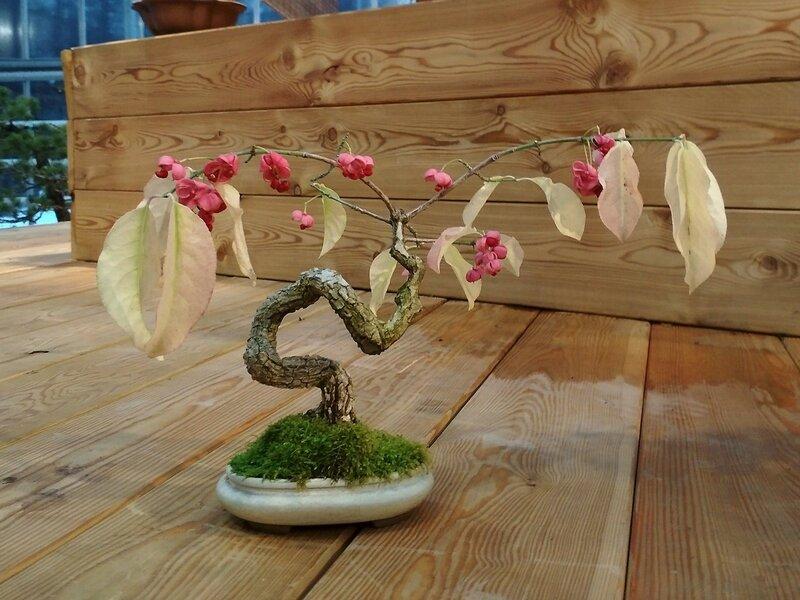 цветущий бонсай с розовыми цветками и белыми листьями - Выставка бонсай в Аптекарском огороде