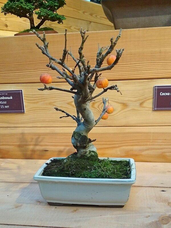 Бонсай яблоня с яблоками (Malus sp.), возраст около 12 лет - Выставка бонсай в Аптекарском огороде