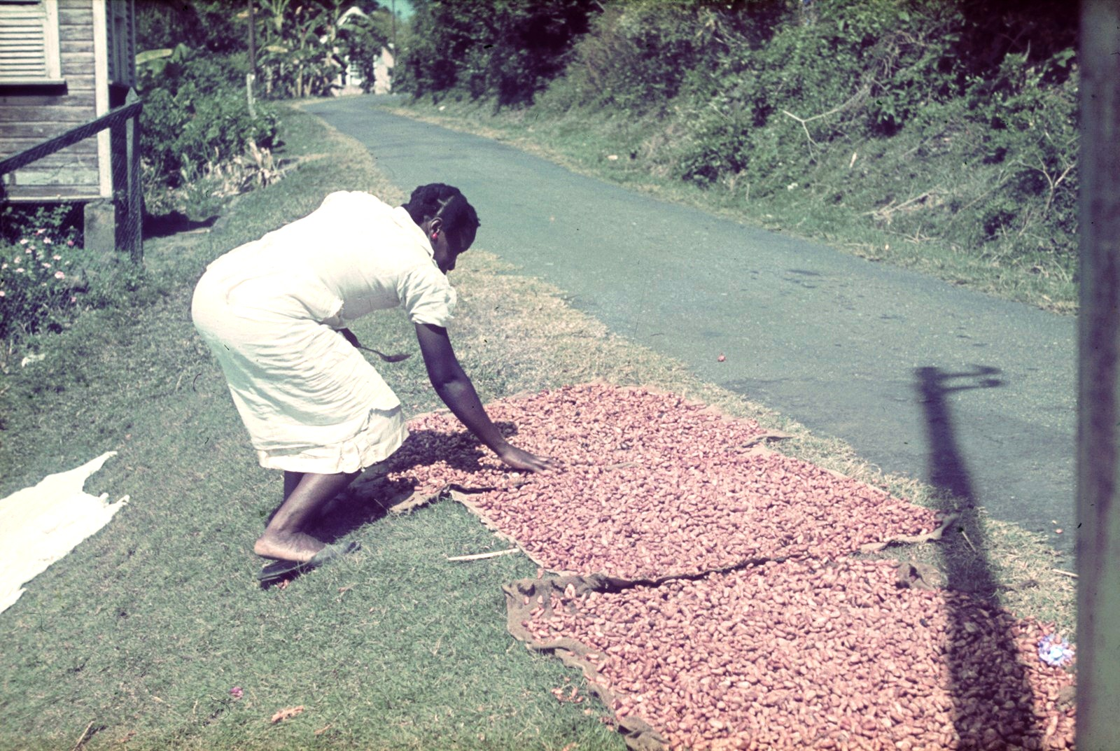 Гренада. Женщина, выложившая для просушки какао-бобы
